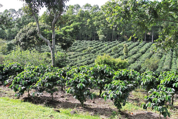 Kaffeeplantage in Costa Rica